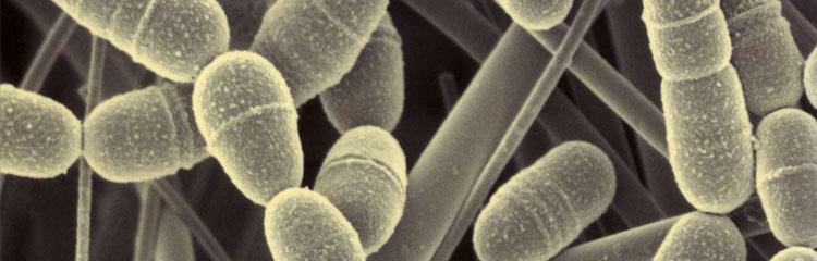 Streptococcus-mutans6500-web.jpg